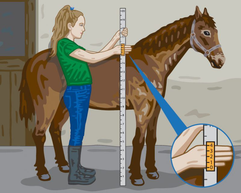 Horse measurement image only